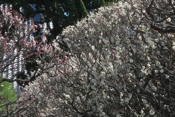 平成30年3月1日(木)、宝戒寺の梅。