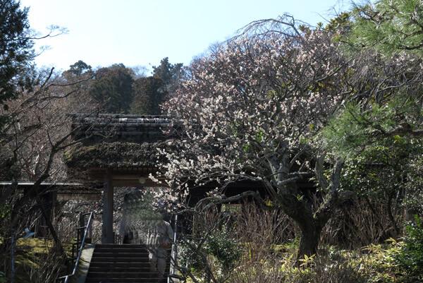 平成30年3月1日(木)、東慶寺門前の梅。最も開花が進んでいます。