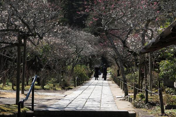 平成30年3月1日(木)、東慶寺の梅。かなり咲きました。