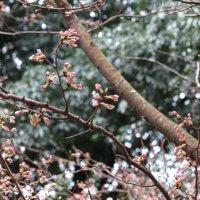 平成30年(2018年)3月23日(金)、源氏山の桜。日当たりが良いのか開花が進んでいる木です。