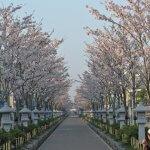 平成30年(2018年)3月29日(木)、段葛の桜。