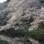 平成30年(2018年)3月29日(木)、鶴岡八幡宮の桜。