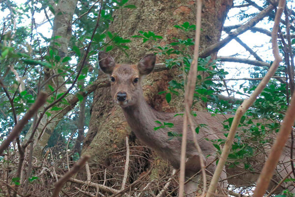 大山寺の鹿。神の山に住む、野生の鹿です。