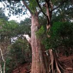 復路、杉の御神木。【大山阿夫利神社】