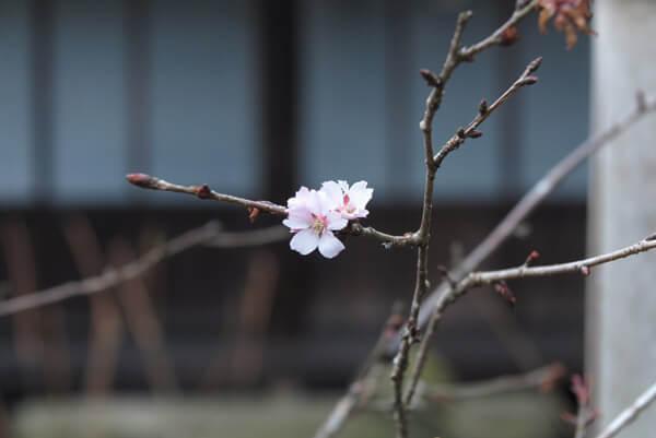 平成31年(2019年)2月12日、瑞泉寺の冬桜。海の開花を見に来るこの季節、もう一つの楽しみです。