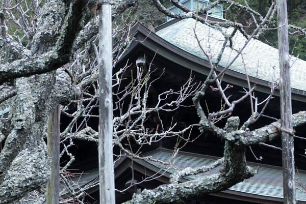 平成31年(2019年)2月12日、瑞泉寺の梅