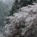 取材した4月10日〜11日は珍しい春の雪。桜が雪化粧して、きれいですがちょっとかわいそうでした。