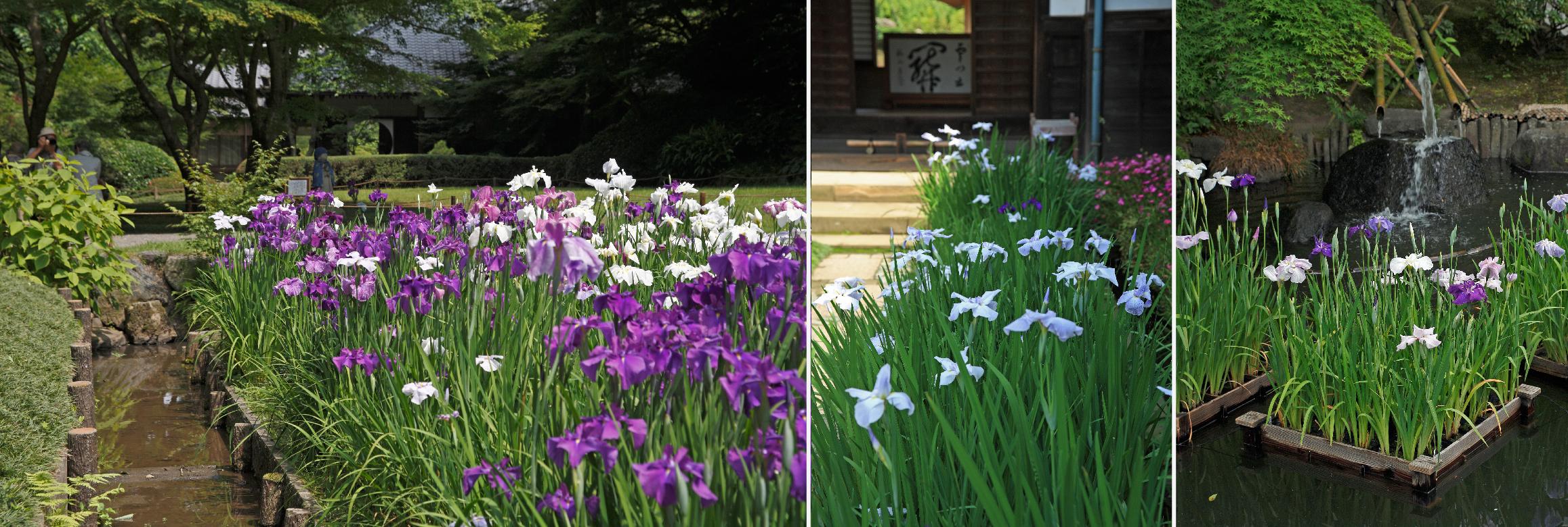 鎌倉の花菖蒲