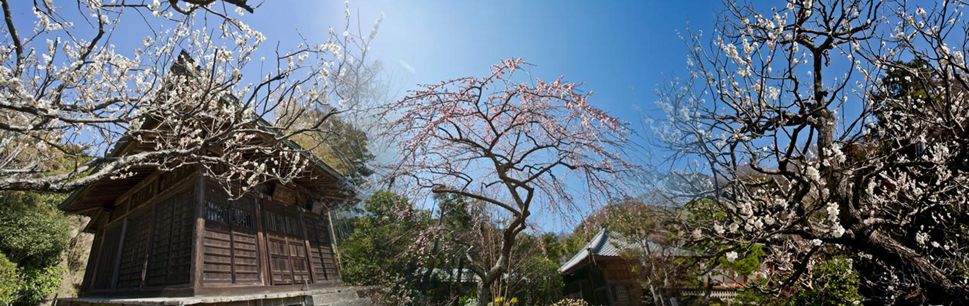 鎌倉の梅 名所と見頃