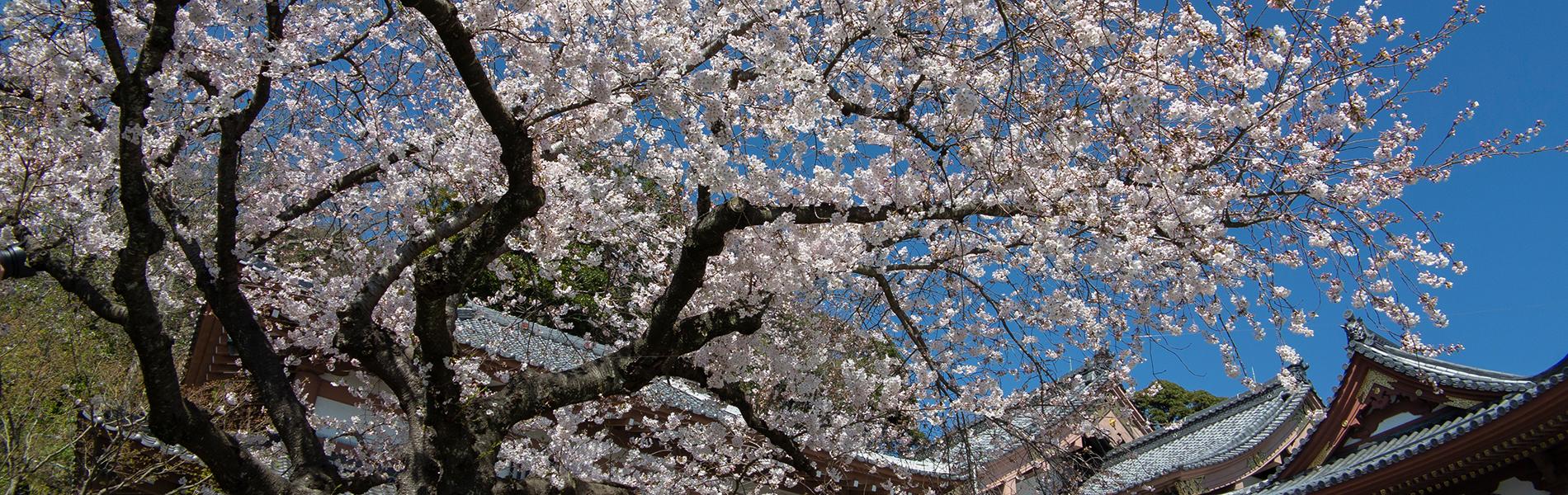 鎌倉の桜 名所と見頃